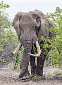 Bull Elephant with Big Tusks