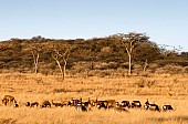 African Acacia Trees with Zebras and Antelope
