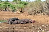 Hippo lying down near water's edge