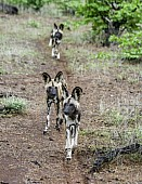 Wild Dogs in a Row