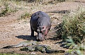 Hippo with Crocodiles