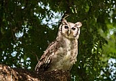 Verreaux's Eagle-Owl or giant Eagle-Owl