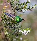 Southern Double-collared Sunbird, Top View