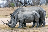 White Rhino Reference Photo