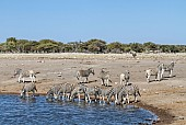 Zebra Herd Milling Around Waterhole