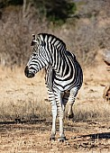 Zebra Standing with Front Leg Raised
