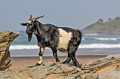 Goat on Rocks with Sea in Background