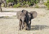 Elephant Babies Romping