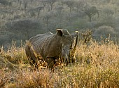 White Rhinoceros in Morning Light