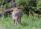 Cheetah Male in Green Grass