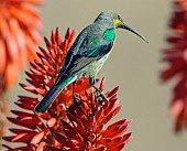 Malachite Sunbird on Aloe