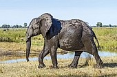 Elephant with Wet Coat