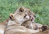 Lioness Nuzzling Youngster