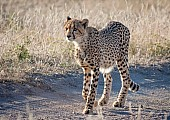Young Cheetah, Three-quarter View