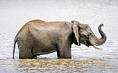 Elephant Standing in Water
