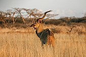 Kudu Bull in Long Winter Grass