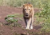 Lion Male Heading for Waterhole