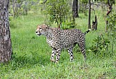 Cheetah Male in wooded country