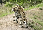 Leopard Youngsters Play Fighting