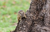 Tree Squirrel Reference Image