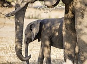 Elephant Juvenile with Adult