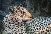 Leopard Close-up