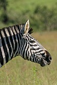 Zebra Head in Profile