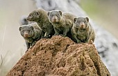 Dwarf Mongoose Foursome