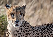 Cheetah Female, Head Shot