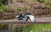 Saddle-Billed Stork Taking Off