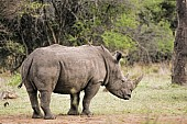 White Rhino Side View