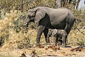 Elephant Mother with Baby