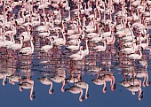 Lesser Flamingo Reflections