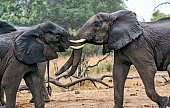 Elephants in Shoving Match