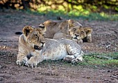 Lion Cubs at Rest in Shade