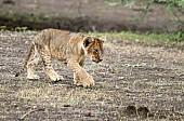 Lion Cub Walking, Side View