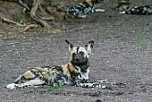 Wild Dog at Rest but Alert
