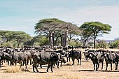 Baobab Trees and Buffalo Herd