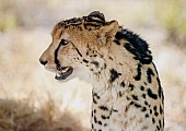 King Cheetah Head and Neck