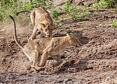 Young Lions Practise Hunting Skill