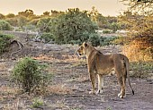 Lioness at Sunset