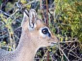Damara Dik-Dik Male, Close-up