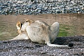 Young Lion Crouching to Drink