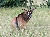 Roan Antelope Looking over Shoulder