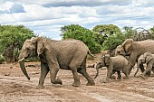 Elephant Family in a Hurry