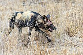 Wild Dog art reference image