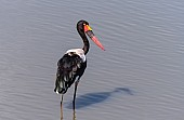 Saddle-billed Stork Wading