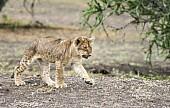 Lion Cub Striding