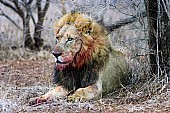 Male Lion with Bloodied Face