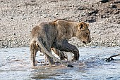 Juvenile Lion Watching Twig in Water